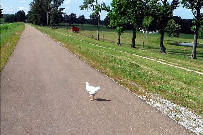 Tanglefoot Trail Share the trail! The famous chicken! Still no answer for, why did the chicken cross the road?