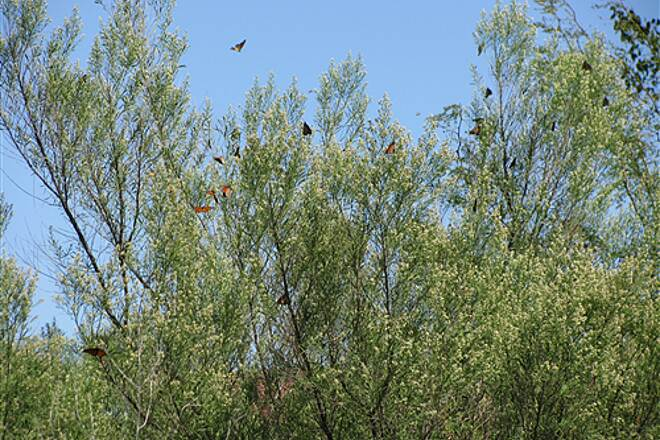 The Colony Shoreline Trail Monarch Butterflies The Colony is in teh Monarch migration path