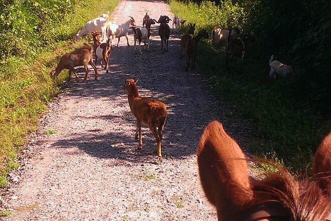 Thermal Belt Rail-Trail Goats
