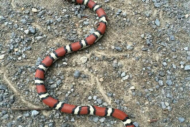 Tunnel Hill State Trail Non Poisonous - Milk Snake Found On Tunnel Hill By Russ Mitzel...