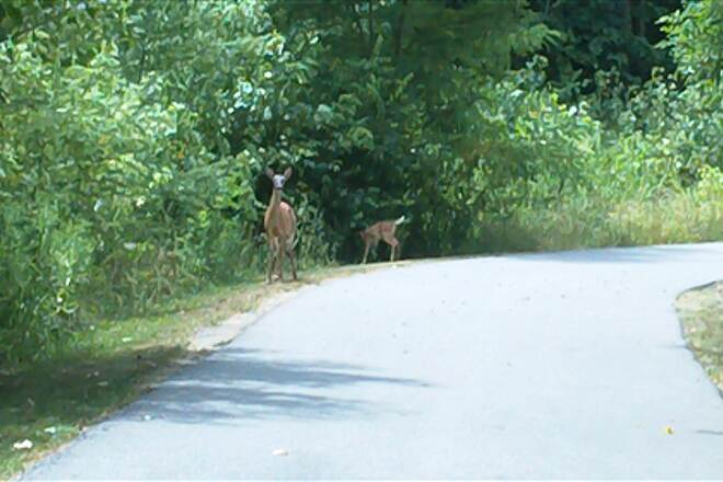 Vandalia Trail Doe and Fawn on Plainfield Trail Hey, move it!  Here comes a bike!!!!