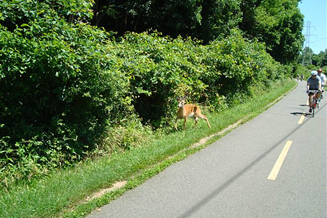 Washington and Old Dominion Railroad Regional Park (W&OD) W&OD trail - June 2009 deer along the trail!