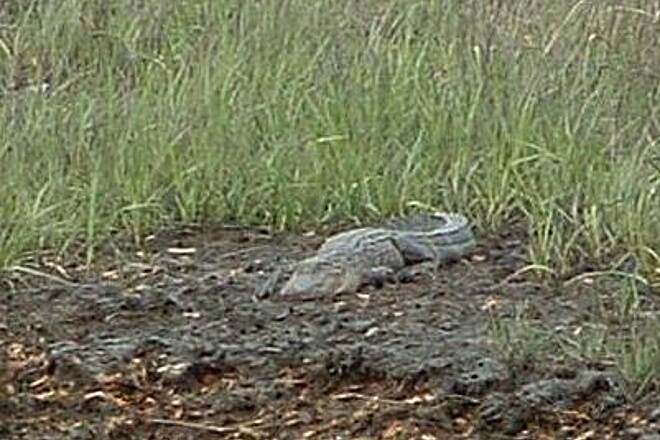 West Ashley Greenway Alligator Alligators don't get near the trail but we were able to view one in the mud across a waterway.