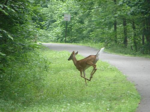 West Fork River Trail Plenty of Wildlife on this trail Deer, Turkey, Rabbit, Groundhog, Birds Galore