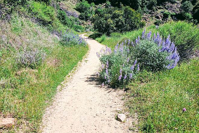 West Side Rails (Tuolumne City to North Fork/ Tuolumne River) Bush Lupine The bush lupine makes the whole trail smell sweet.