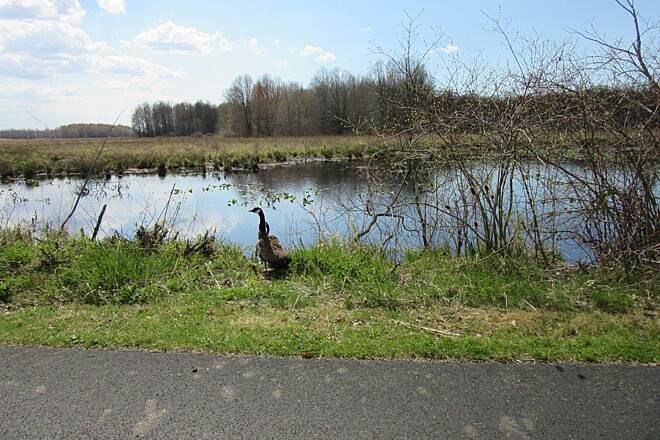 Western Reserve Greenway Geese Geese along the trail - April 2015