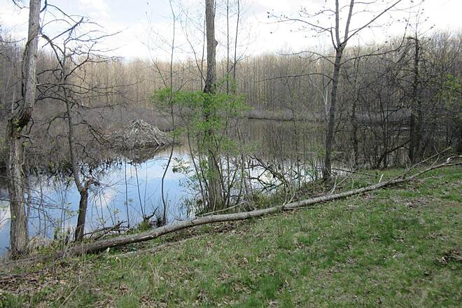 Western Reserve Greenway Beaver Dam A Beaver dam along the trail-April 2015