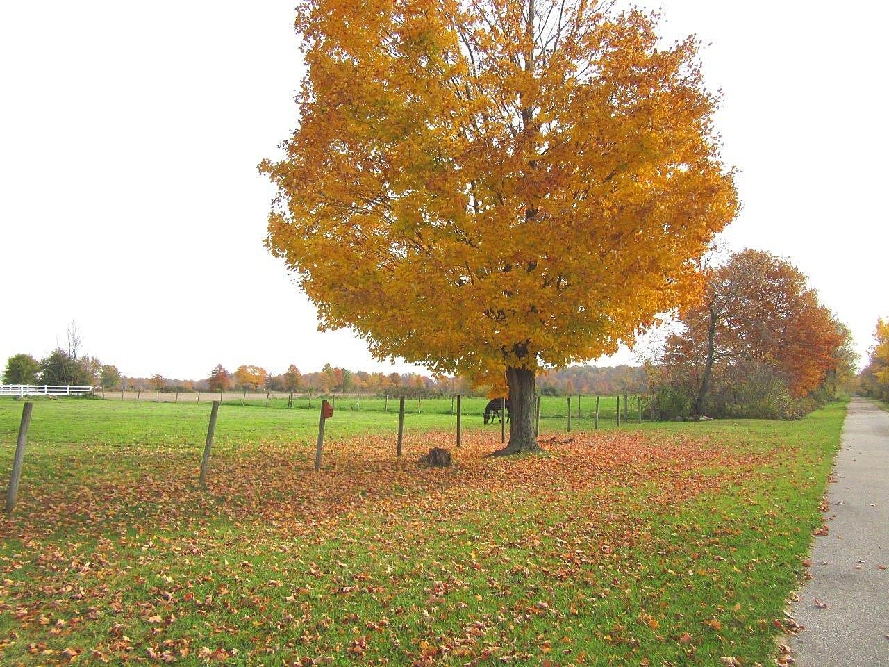 Western Reserve Greenway Pretty tree Along the trail near Orwell