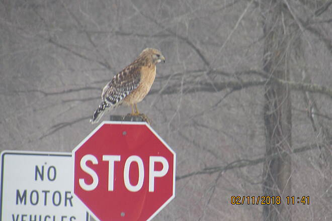 Western Reserve Greenway Hawk on trail WRG & Airport  Rd