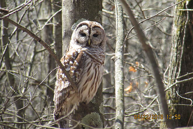 Western Reserve Greenway Barred Owl by trail Owl just sitting in tree.