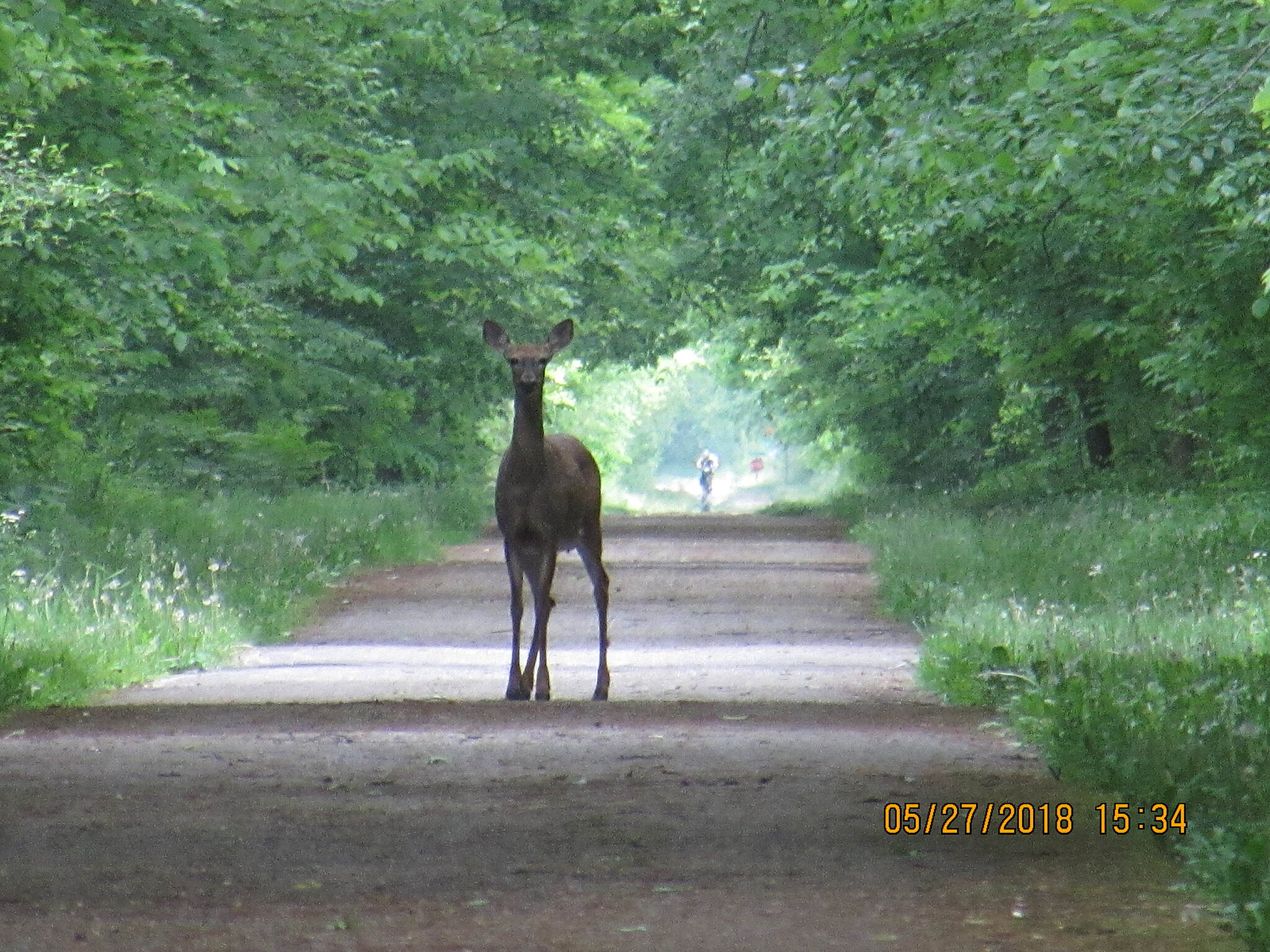 Western Reserve Greenway Deer in trail near Rock Creek Very relaxed about bikers