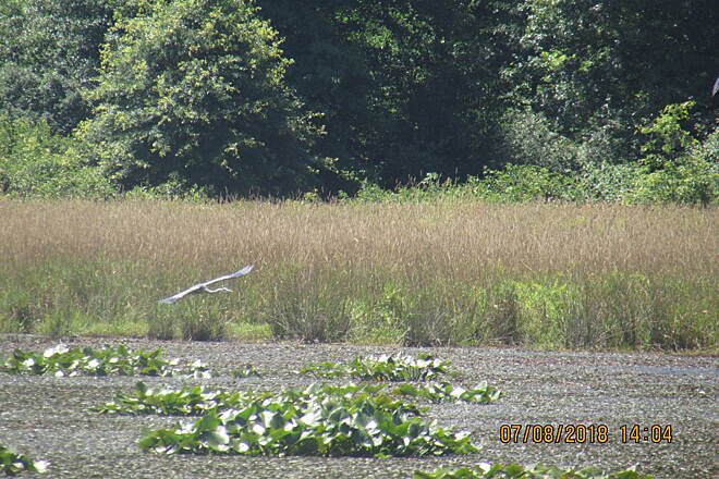 Western Reserve Greenway Flying Heron At Mosquito Creek Wildlife Area
