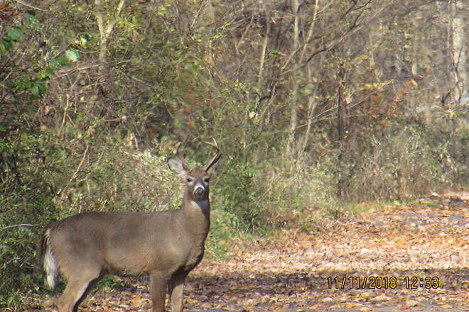Western Reserve Greenway Young buck Near Peck Leach Rd & WRG