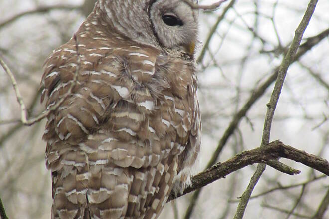 Western Reserve Greenway Barred Owl Flew to roost 25 feet away