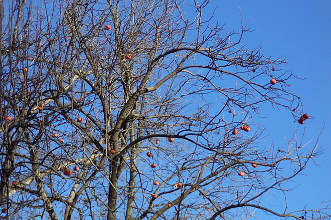 Whetstone Creek Trail Persimmon Tree These over-ripe persimmons are near the western end of the trail west of Bolton Rd.