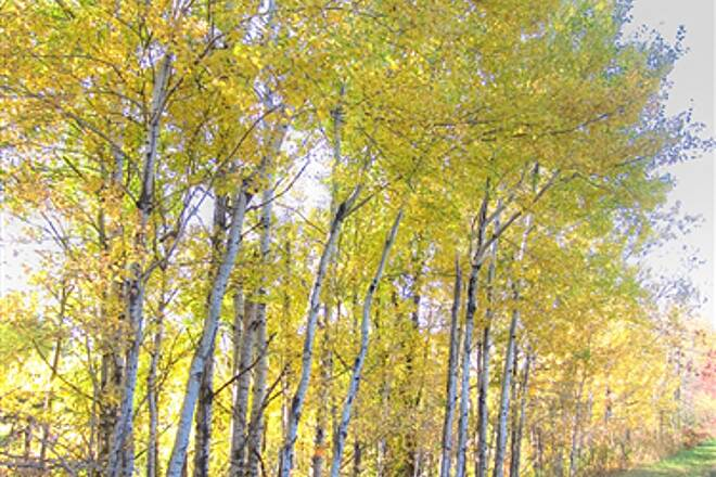 Willard Munger State Trail (Hinckley-Duluth) Aspen Grove South of Carlton Morning aspens along trail south of Carlton along St Rte 61