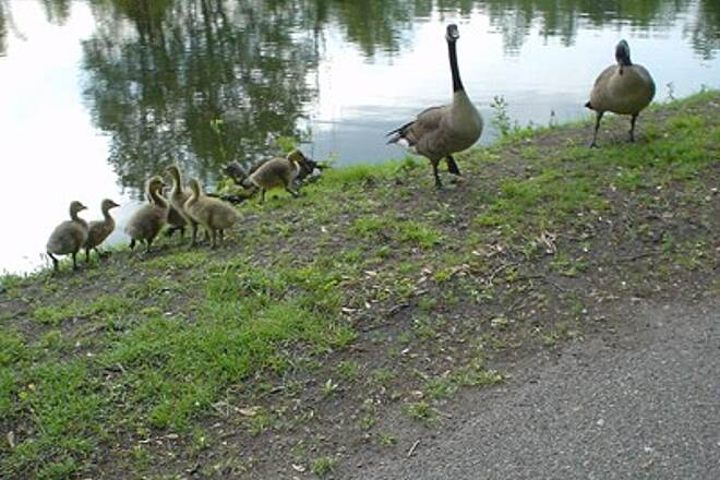 Windsor Locks Canal State Park Trail Geese with Chicks Geese were not too happy -- they were hissing at me!