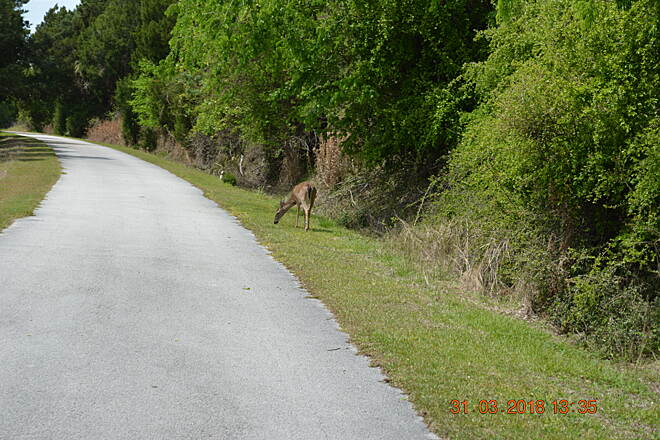 Withlacoochee Bay Trail Deer along the way Don't be surprised if you see deer and other animals along the way.