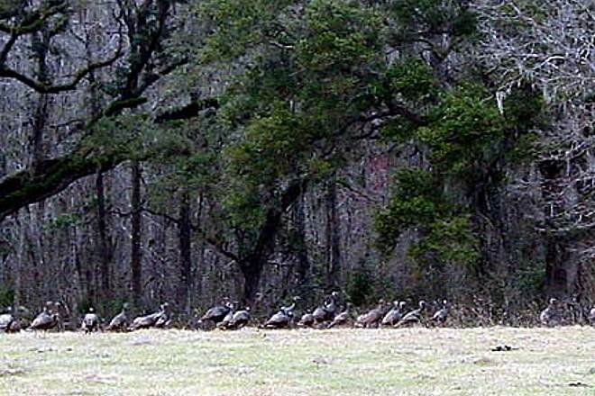 Withlacoochee State Trail Wildlife A large flock of turkey just south of Floral City.