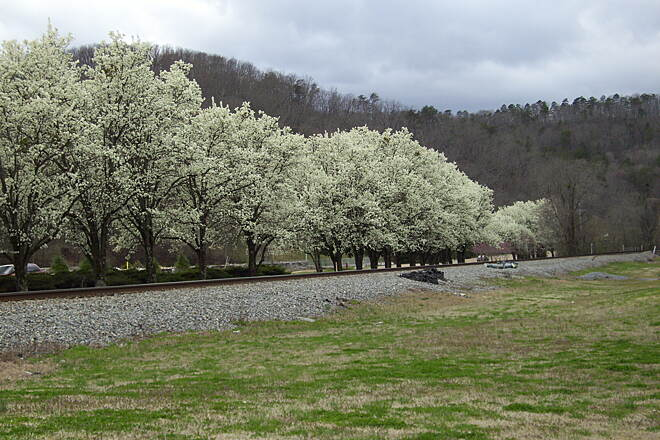 Wolftever Creek Greenway Almost Spring Bradford pears blooming early on March 29th, first day of RTC season!